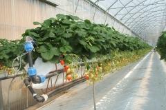 tubes pvc chauffer serres fraises
