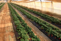 chauffer fraises en sol
