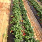 fraise en sol
