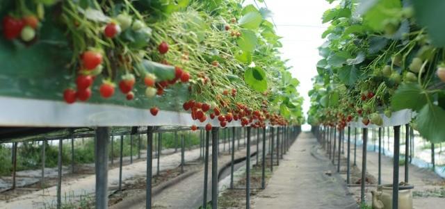 culture des fraises en serre hors sol et gestion du. Black Bedroom Furniture Sets. Home Design Ideas