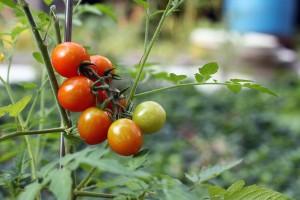 serre de tomates