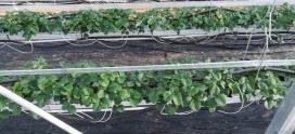 La chaudière Caldor basse température : idéale pour le chauffage de serres de fraises