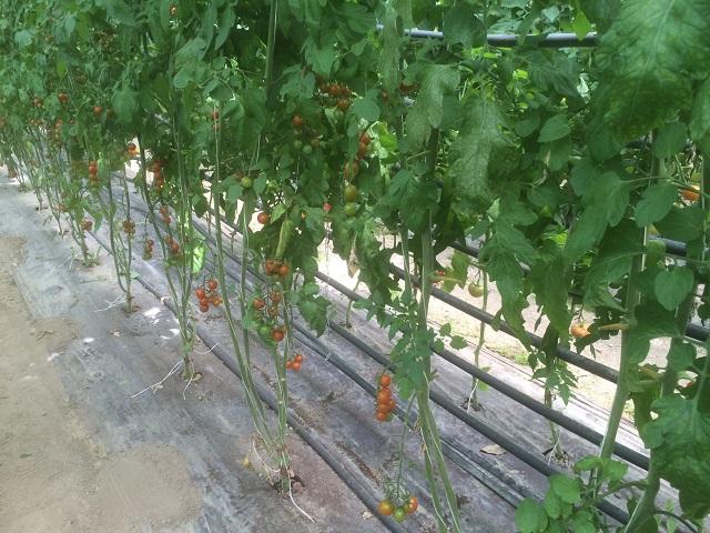 chauffer serre tomate en sol