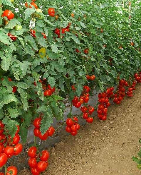 tomates en sol