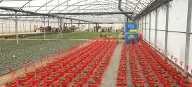 Une double solution de chauffage de serres horticoles : économique et complémentaire